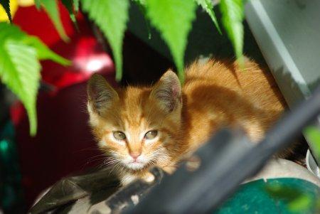 赤トラ子猫