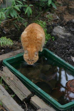 ニセ池の水を飲む猫