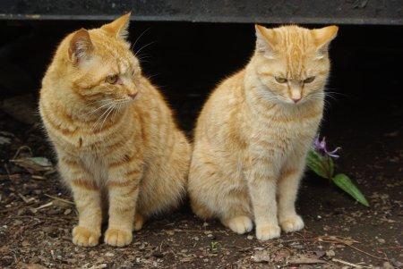 かたくりの花の前に立つ猫