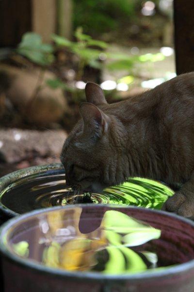 猫の水飲み