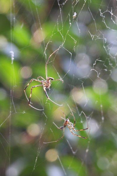 女郎蜘蛛、オス
