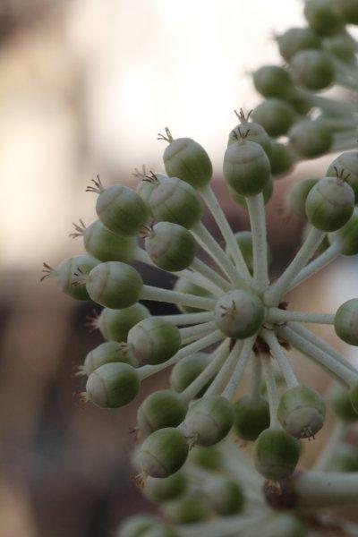 八手の花(雌性期)