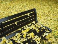 イチョウ落葉