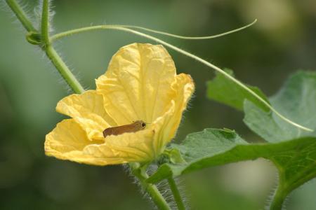 冬瓜(トウガン)の花とセセリチョウ