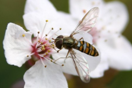ホソヒラタアブと杏の花