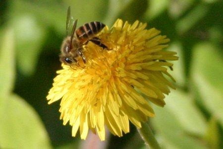 ミツバチとタンポポ