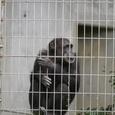 06.チンパンジー アキラくん